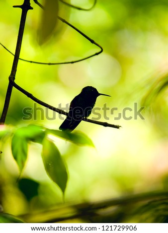 Silhouette of the Rufous-tailed Hummingbird (Amazilia tzacatl) perched on a branch - stock photo