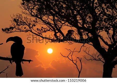 Silhouette of two Yellow Billed Horn-bills birds (Tockus leucomelas) in South Africa sitting in a tree - stock photo