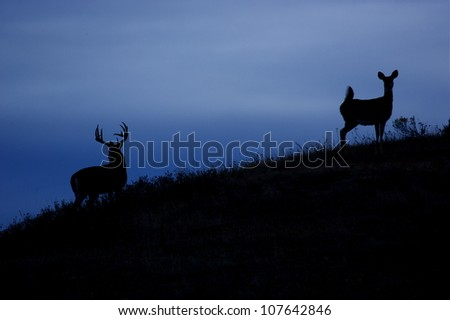 Silhouette of Whitetail Deer, buck and doe on the skyline - stock photo