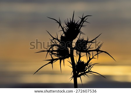 Silhouette of wild thistle flowers in foreground on skyline with color effects at dawn - stock photo