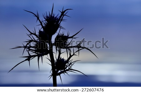 Silhouette of wild thistle flowers on bluish horizon at dawn, color effect image - stock photo