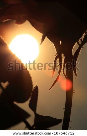 silhouette red rose flower in sunlight - stock photo