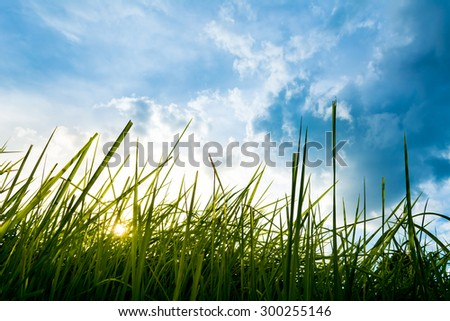 silhouette shot image of Grass and sky in shiny day. - stock photo