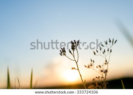 Silhouette wild flower in sunset, selective focus point, shallow depth of field - stock photo