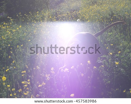 Silhouetted vizsla dog in a field with flowers, with intense lens flare