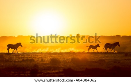 Silhouetted Zebra family walk across the African sunset, with a baby Zebra racing along in the dust - stock photo