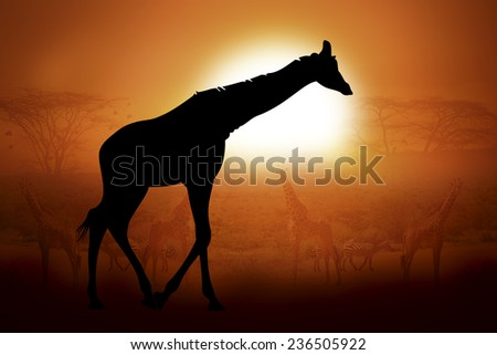 Silhouettes giraffe against the sunset in Africa - stock photo
