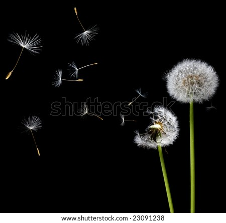 silhouettes of dandelions in the wind on black background - stock photo