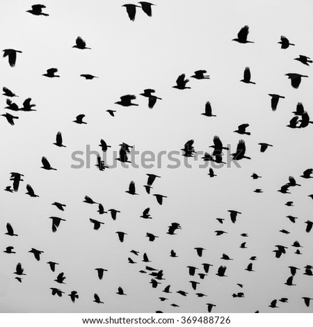 Silhouettes of flying black birds in the gray sky