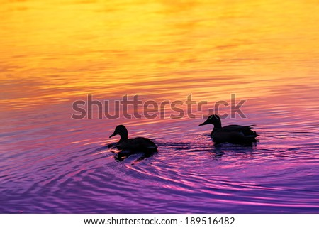Silhouettes of mallards (wild ducks) floating in the water over colorful sunset - stock photo