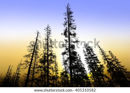 silhouettes of old conifer trees at beautiful sunrise - stock photo