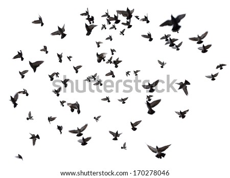 Silhouettes of pigeons. Many birds flying in the sky. Motion blur. Isolated on white - stock photo