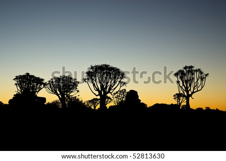 Silhouettes of quiver trees at sunset - stock photo