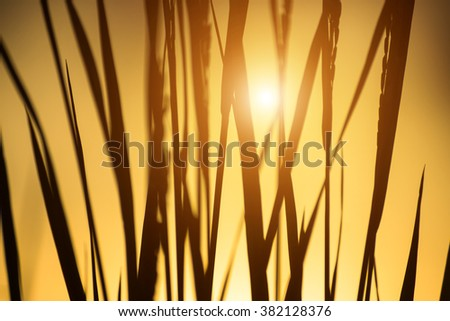 Silhouettes of rice plant in sunset. Out of focus image. - stock photo