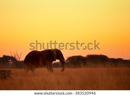 Silhoutte of an African elephant, Loxodonta africana africana in orange, late sunset in savanna. Hwange national park, Zimbabwe.