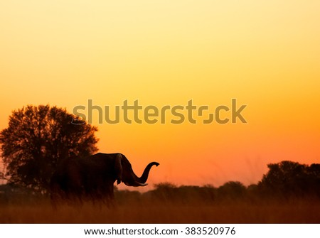 Silhoutte of an African elephant, Loxodonta africana africana with its trunk raised in orange, late sunset in savanna. Hwange national park, Zimbabwe. - stock photo