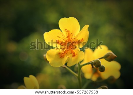 Silk cotton tree binomial name cochlospermum stock photo 557287558 silk cotton tree binomial name cochlospermum religiosum a flowering plant from the tropical mightylinksfo Gallery