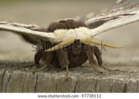silk moth sitting on a log extreme close-up portrait / Saturnia pyri - stock photo