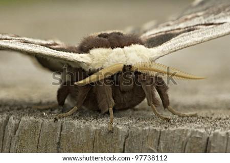 silk moth sitting on a log extreme close-up portrait / Saturnia pyri - stock photo