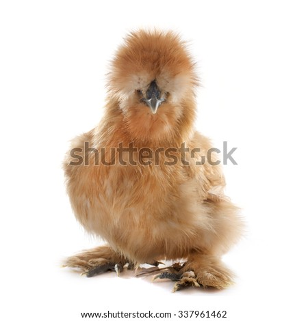 silkie chicken in front of white background - stock photo
