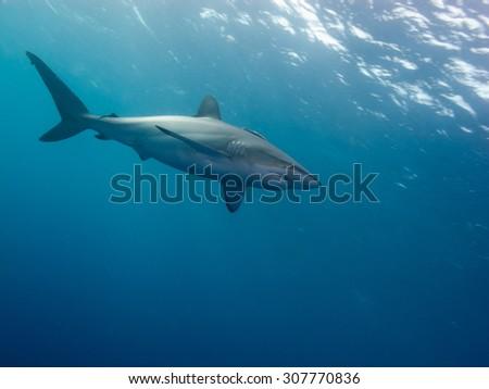 Silky shark (Carcharhinus falciformis) undersea - stock photo