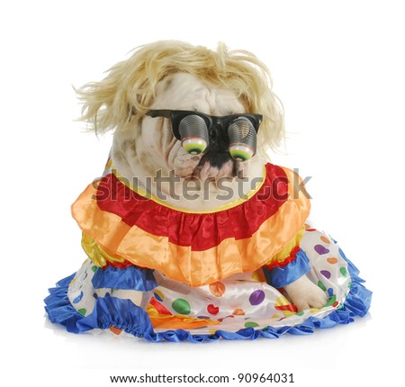 silly dog - english bulldog wearing silly glasses and clown costume - stock photo
