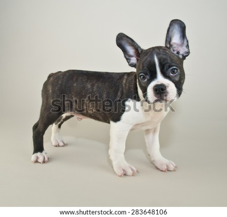 Silly French Bulldog puppy that looks like someone just asked him a question. - stock photo