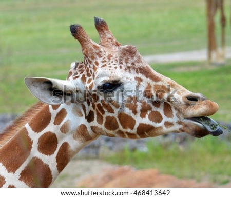 Silly Giraffe sticking out tongue
