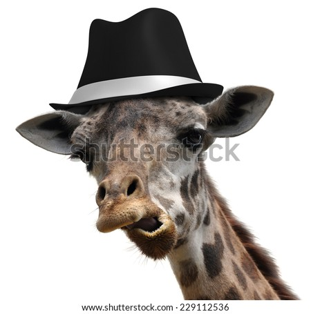 Silly giraffe wearing a fedora and making an unusual face - stock photo