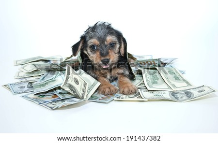 Silly Morkie puppy sticking out his tongue while laying in a pile of one hundred dollar bills. - stock photo