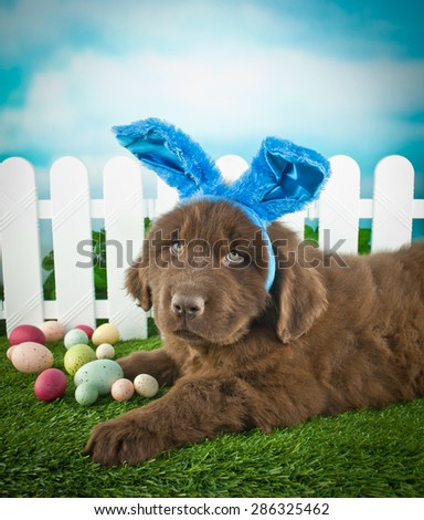 Silly Newfoundland puppy wearing Easter bunny ears, laying in the grass outdoors with Easter eggs around him.