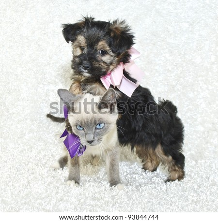 Silly puppy attacking a not so happy kitten and standing on her back, with the kitten giving an evil look. - stock photo