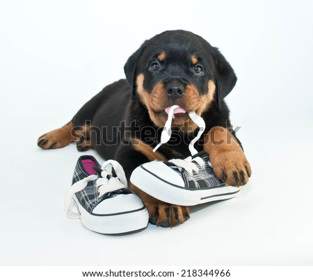 Silly Rottweiler puppy chewing on a pair of new shoes making a silly face, on a white background. - stock photo