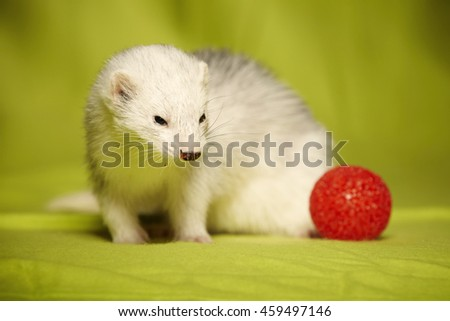 Silver adult ferret portrait with red toy in studio - stock photo