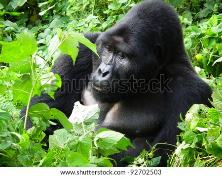Silver-back eating the leaves in the forest of Uganda