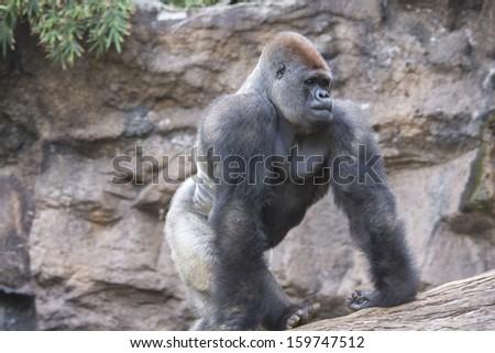 Silver back gorilla walking on fallen tree in black and white - stock photo