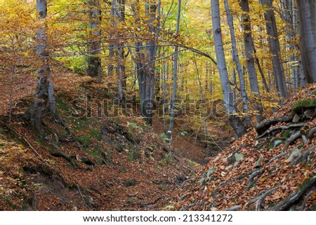 silver-beech tree trunks against the dry leaves  - stock photo