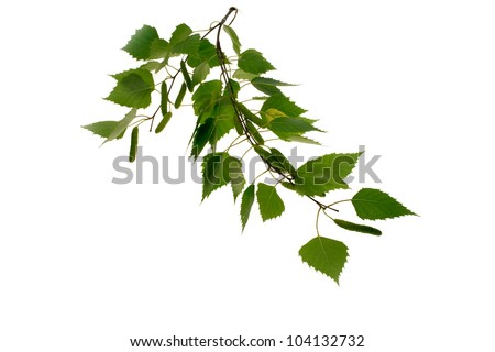 Silver birch leaves reflected on white surface. Fresh spring growth. - stock photo