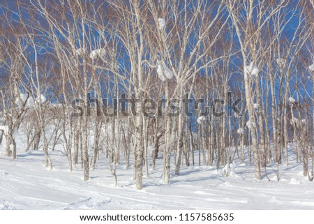 Silver birch trees with large lumps of snow up amongst the branches