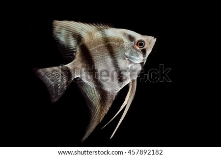 Silver blue angelfish isolated on black background