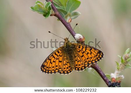 Silver-bordered Fritillary (Boloria selene) - stock photo