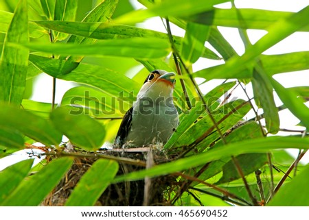 Silver-breasted Broadbill (Serilophus lunatus), Showing front profile, standing on a branch in nature of Thailand