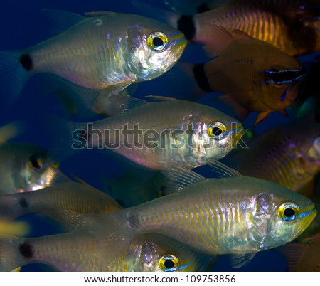 Silver Cardinal fish organised in a line on a tropical coral reef - stock photo