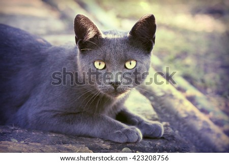 Silver cat looking at the camera - stock photo