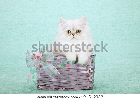 Silver Chinchilla kitten siting inside light purple lavender basket decorated with ribbon and bows on light green background  - stock photo