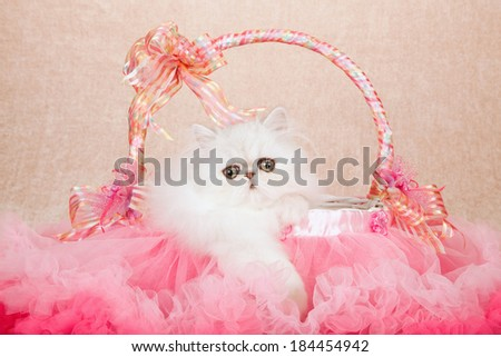 Silver Chinchilla kitten sitting inside pink tulle tutu basket with ribbons and bows on beige background