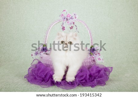 Silver Chinchilla kitten sitting inside purple tulle tutu basket decorated with bows on light green background