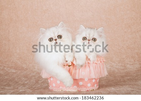 Silver Chinchilla kittens sitting inside frilly peach colored polka dot basket on beige background