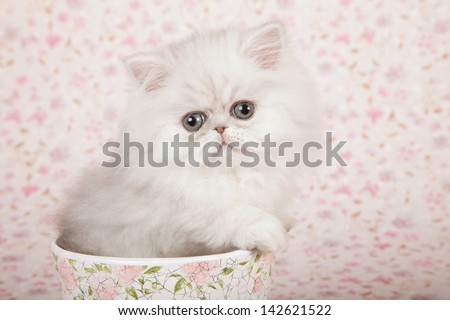 Silver Chinchilla Persian kitten sitting inside in vase container on pink floral background