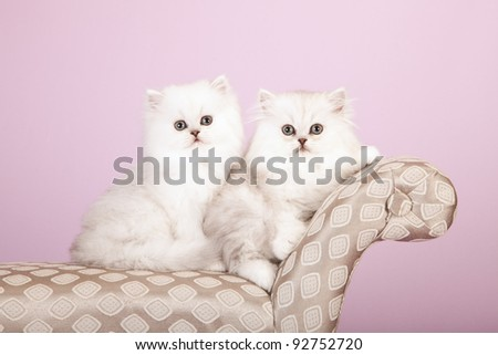Silver Chinchilla Persian kittens on grey chaise on lavender background - stock photo